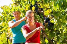 Polnische Erntehelfer bei Weinlese